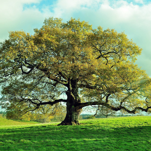 Arbre, un vieux chêne