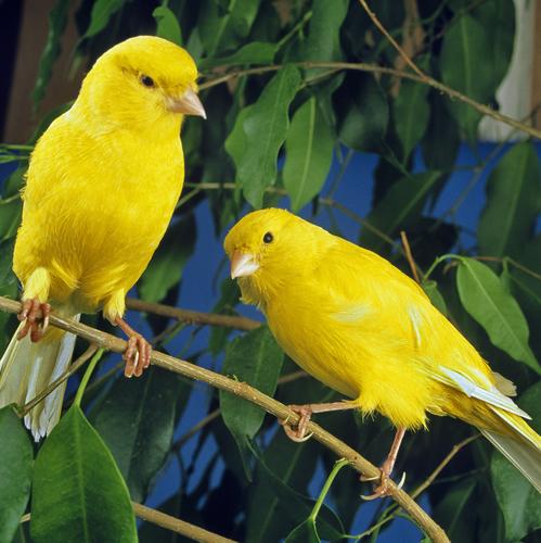 Canari, oiseau jaune