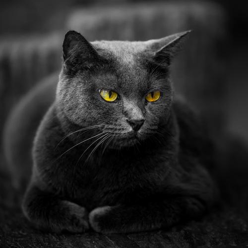 Beau chat gris ...