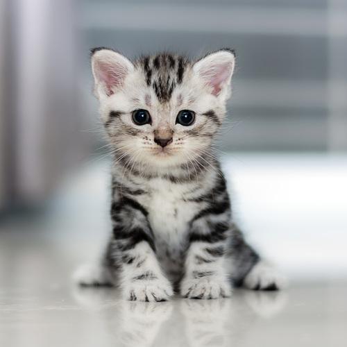 Mignon petit chaton tigre