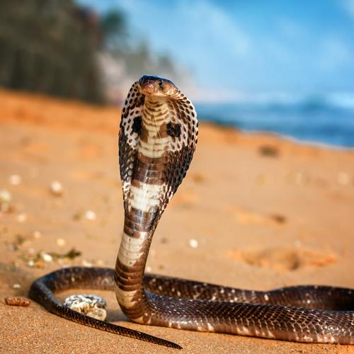 Serpent cobra