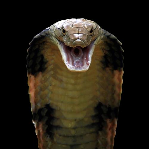 Haje - Serpent cobra