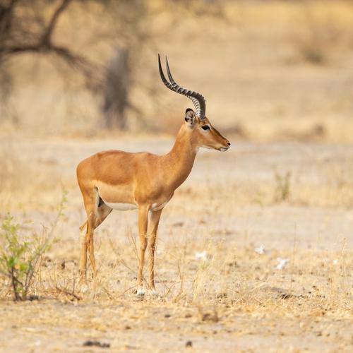 Kob, antilope d'Afrique.