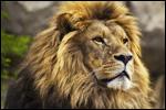 Le roi des animaux ...