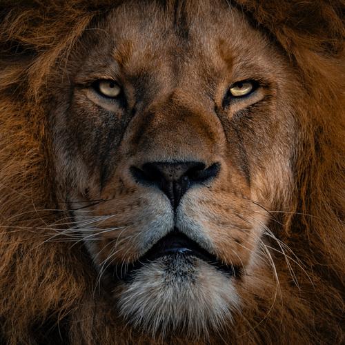 Lion, roi des animaux