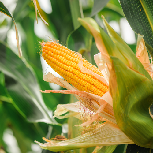 Culture du maïs