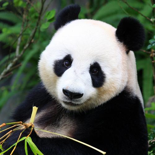 Panda, tout mignon ...