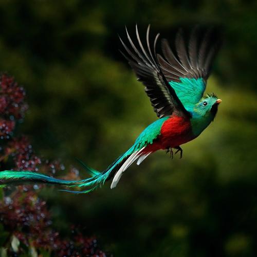 Quetzal, oiseau haut en couleurs ...
