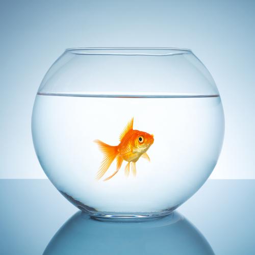Attention ! Le poisson rouge est orange ...
