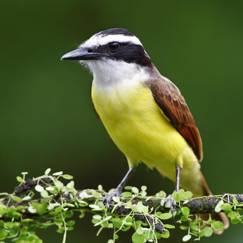 Oiseau tyran - Pitangus sulphuratus